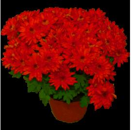 Горшки для хризантем